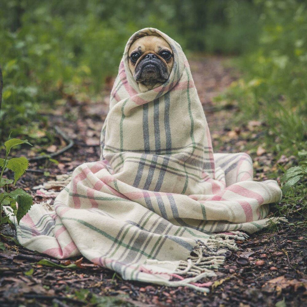 Картинках, картинки красивые с мопсами в одеяле на рельсах