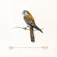 Happy Trails (American Kestrel Falco Sparverius) — Rapidgrass