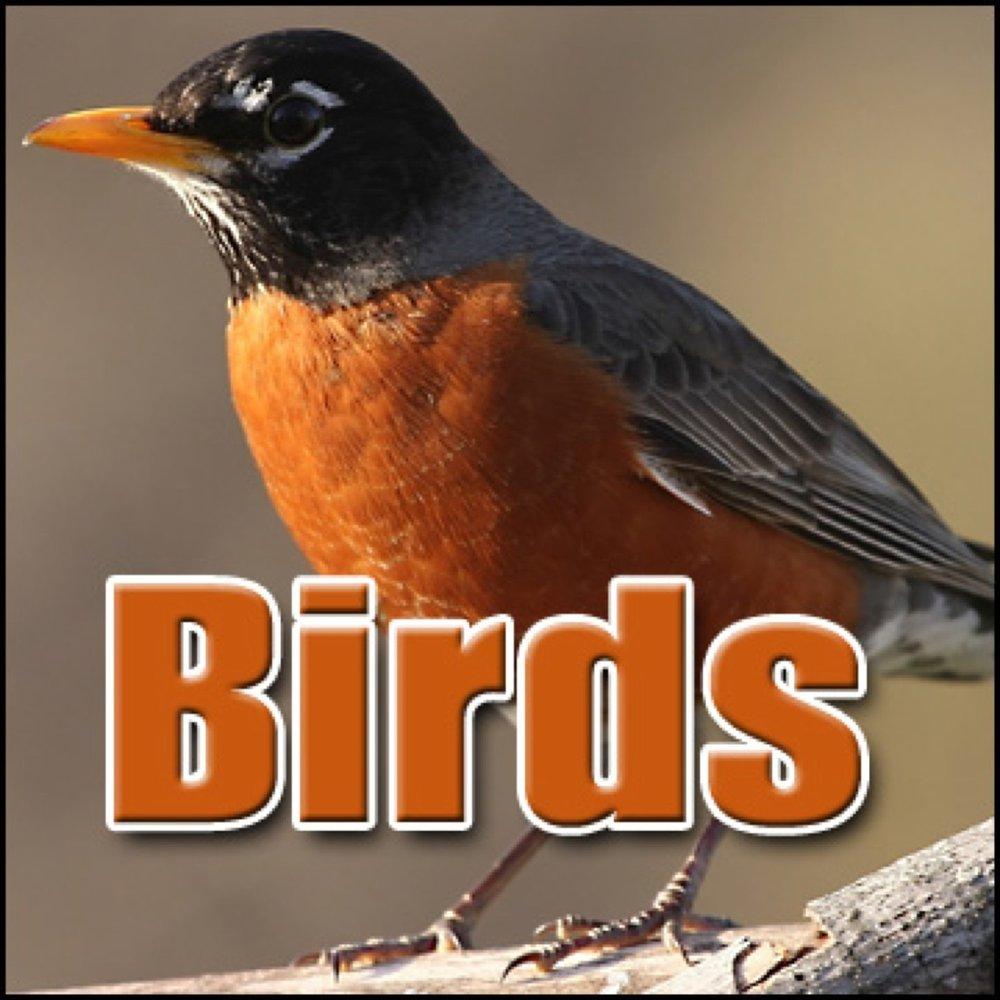 Bird, Budgie - Budgie: Int: Chirping, Animal Birds, Sound FX