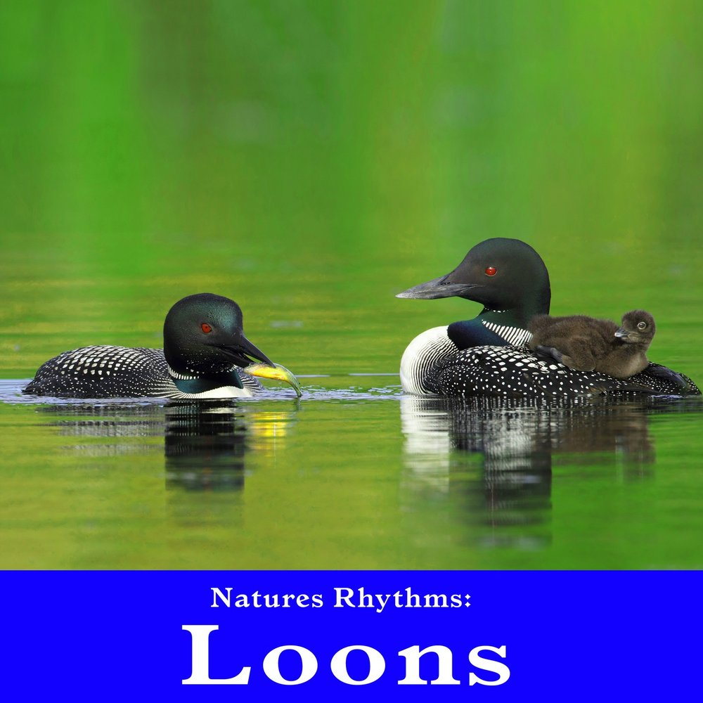 Haunting Loon Call For Serenity And Spa Relaxation