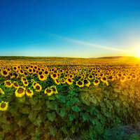 Sunflower Field — Alterleo