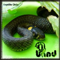 Reptile Chile — A Real Good Band